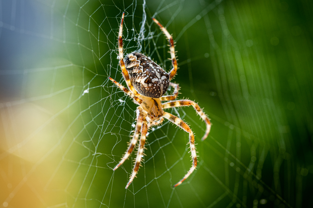 Most cities in the UK are invaded by garden spiders.